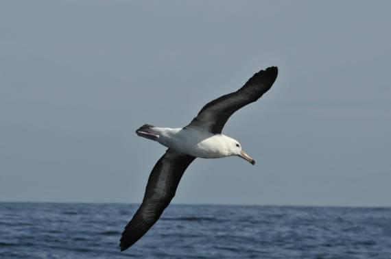 12 albatros