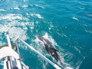 21 dauphin