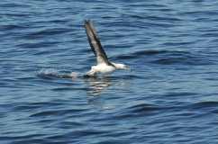 25 albatros