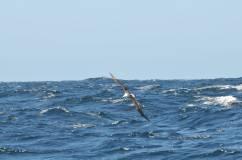 3 albatros