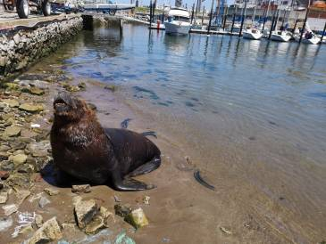 lion de mer port