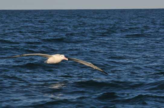 albatros austral.jpeg