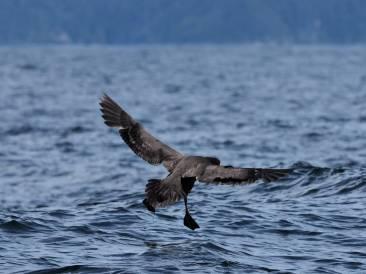 albatros noir 2