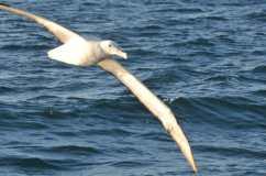 albatrosgc3a9ant