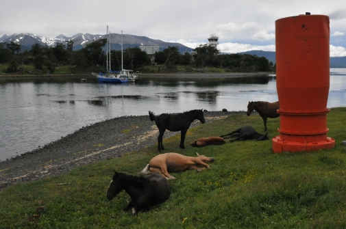 chevaux à Puerto williams.JPG