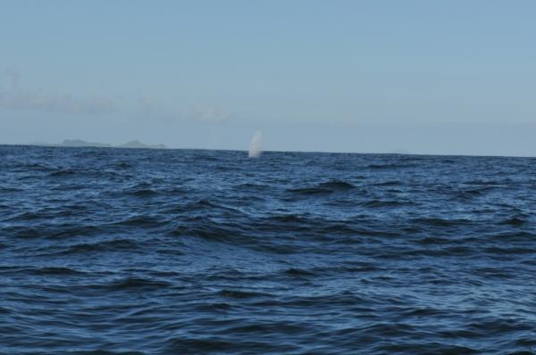 baleine golfe des peines.JPG