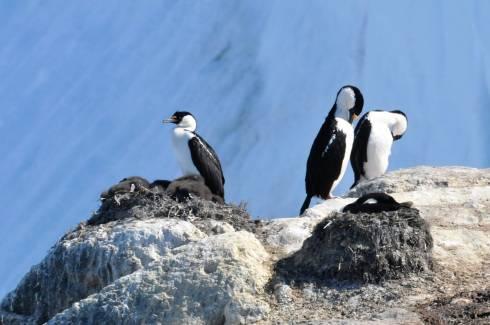 cormorans et petits
