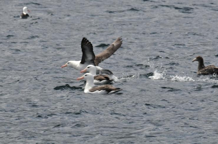 oiseaux pelagiques
