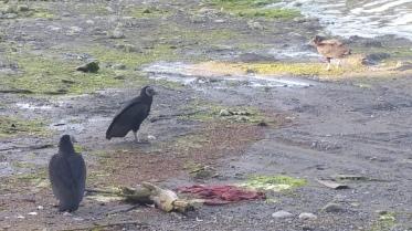 Sur la plage, les vautours sont charges de la voirie